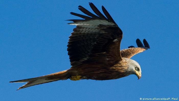 A red kite flying in the sky (Photo: picture-alliance/dpa/P. Pleul).