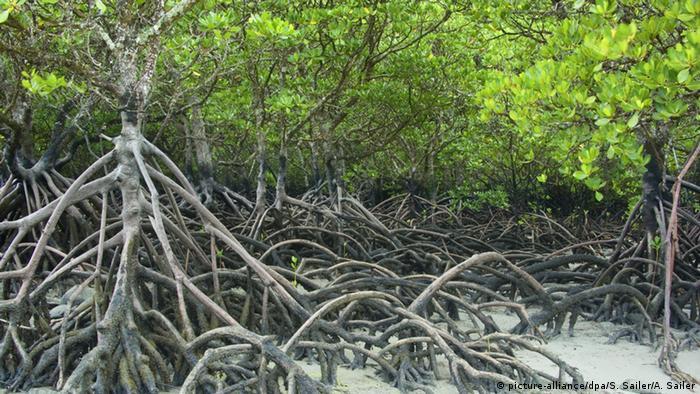 Precious and rare mangrove habitat at Cape Tribulation, Queensland, Australia, at low tide (Photo: picture-alliance/dpa/S. Sailer/A. Sailer)