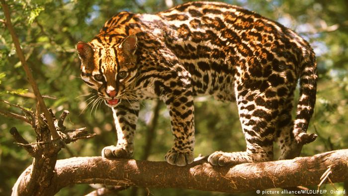 Ocelot in Brazilian rainforest