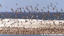 Bildergalerie Wattenmeer Knutt (H.-U. Rösner / WWF)