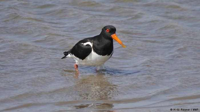 An oystercatcher — black and white bird with a long orange beak — knee-deep in water