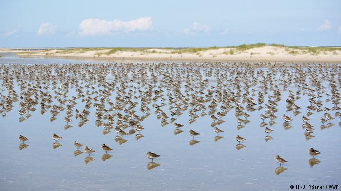 Birds wading through water in Wadden Sea (H.-U. Rösner / WWF)