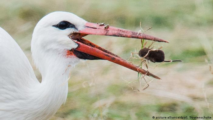 Storch frisst Maus (picture-alliance/dpa/J. Stratenschulte)