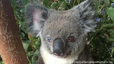Australien: New South Wales investiert Millionen in Schutz von Koalas