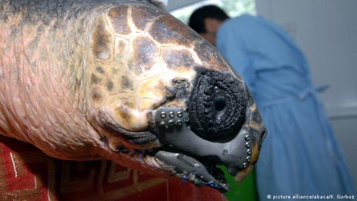 Loggerhead turtle with 3D-printed, medical-grade titanium beak (picture alliance/abaca/K. Gurbuz)