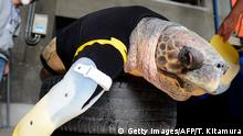 Yu, an approximately 25-year-old female loggerhead turtle, receives her 27th pair of artificial front legs at the Suma Aqualife Park in Kobe on February 12, 2013. Yu lost her front legs during a shark attack. AFP PHOTO / TOSHIFUMI KITAMURA (Photo credit should read TOSHIFUMI KITAMURA/AFP/Getty Images) Copyright: Getty Images/AFP/T. Kitamura