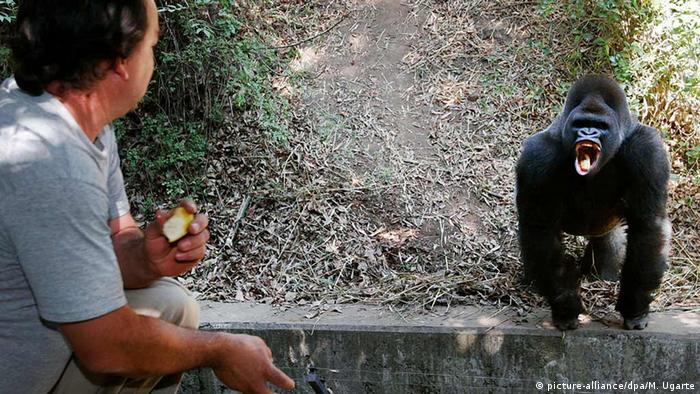 Gorilla Bantú in Chapultepec Zoo, Mexico City (Photo: picture-alliance/dpa/M. Ugarte).