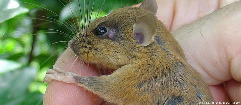 Rato arborícola das Filipinas