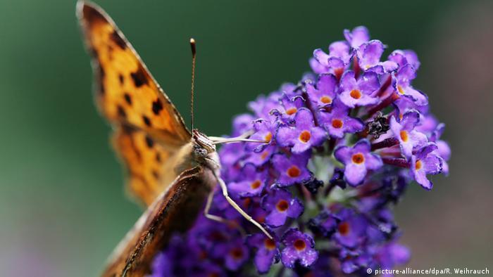 Deutschland Schmetterling C-Falter in einem Garten in Essen (picture-alliance/dpa/R. Weihrauch)