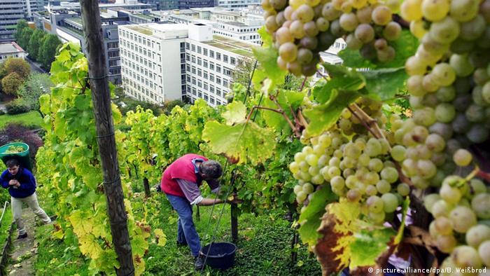 Vineyards in Stuttgart