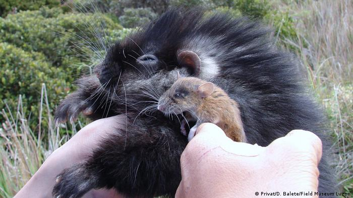 Crateromys schadenbergi (giant cloud rat) und Musseromys beneficus (pygmy cloud rat) in Luzon, Phillipines (Photo: D. Balete/Field Museum Luzo)