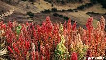 Quinua-Pflanzen (Quinoa) in der Nähe von Cachora, Apurímac, Peru. 3800m.ü.M.