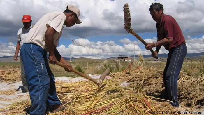 Agricultores trillando la quinua cerca de Puno, Perú.