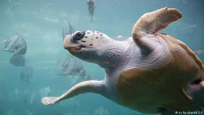 Loggerhead sea turtle swimming in the Mediterranean (cc by ukanda 2.0)