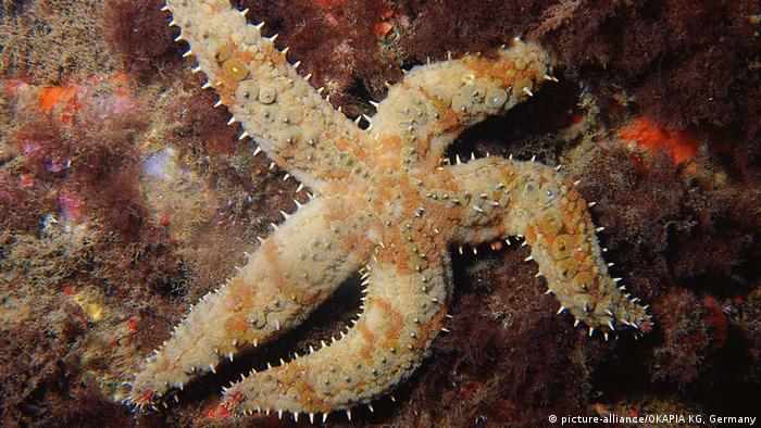 Marthasterias glacialis (Picture: picture-alliance/OKAPIA KG, Germany)