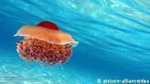 Lebewesen im Mittelmeer Spiegeleiqualle