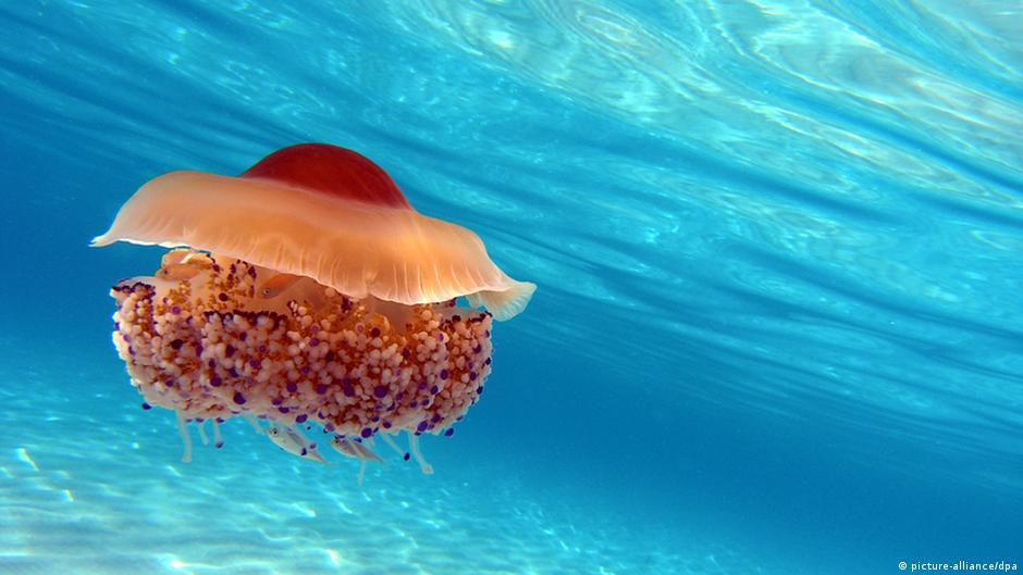 Why so many gosh darn jellyfish? | Environment| All topics