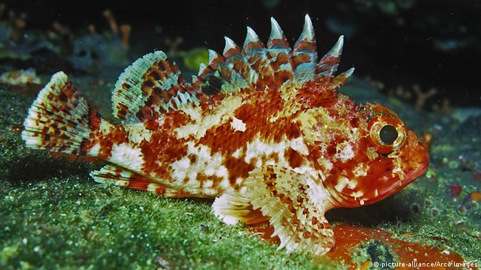 Scorpionfish (Picture: picture-alliance/Arco Images)