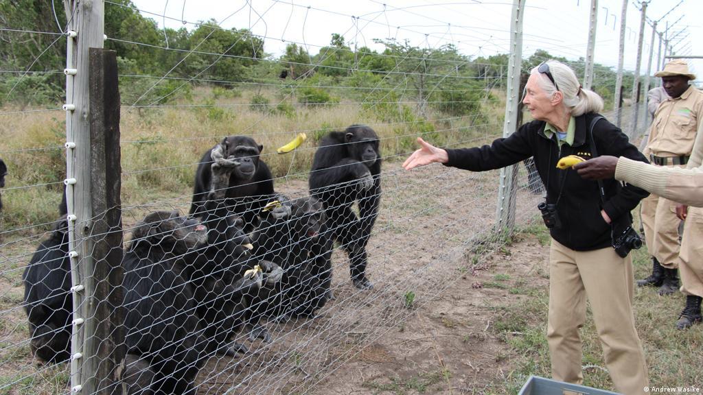 Happy reunion: Jane Goodall meets old chimpanzee friends