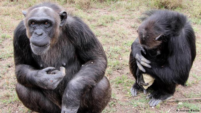 Kenia Jane Goodall Veranstaltung im Chimpanzee Adoption Centre