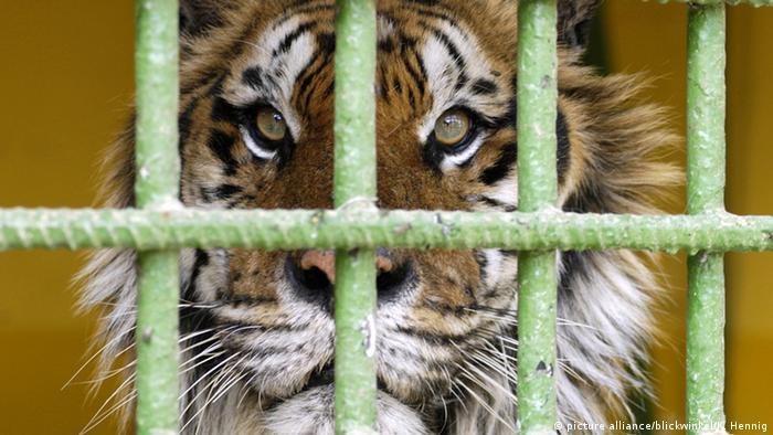 Siberian tiger (picture alliance/blickwinkel/K. Hennig)