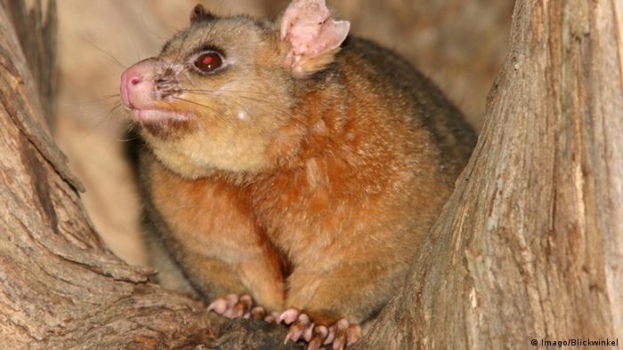 Australien Possum