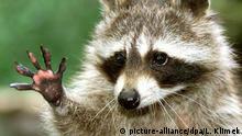 ARCHIV - Ein kleiner Waschbär winkt im Tierpark im schleswig-holsteinischen Neumünster den Besuchern zu (Archivfoto vom 20.06.2001). Foto: Lenhard Klimek/dpa (Zu dpa Fürchtet den Japanischen Staudenknöterich vom 28.01.2016) +++(c) dpa - Bildfunk+++ | Verwendung weltweit © picture-alliance/dpa/L. Klimek