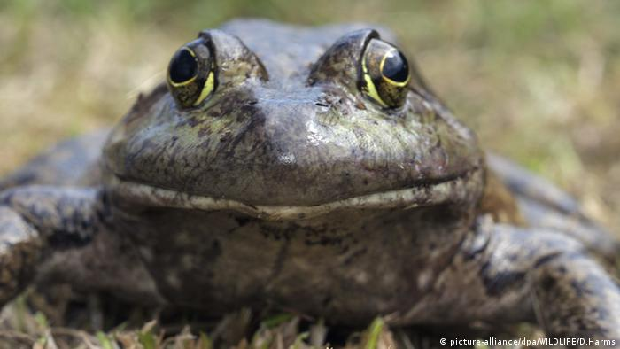 Amerikanischer Ochsenfrosch (picture-alliance/dpa/WILDLIFE/D.Harms)