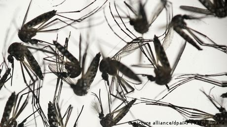 Aedes aegypti mosquitoes (picture alliance/dpa/AP Photo/F. Dana)