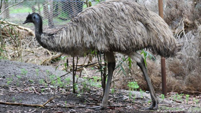 Emu (picture-alliance/dpa/S. Ross)