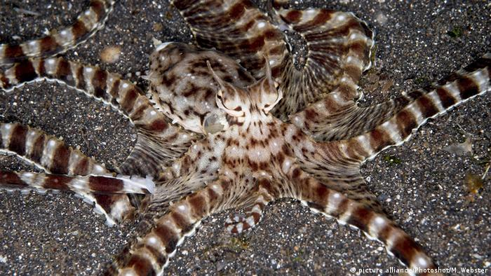 Mimic Octopus am Meeresgrund