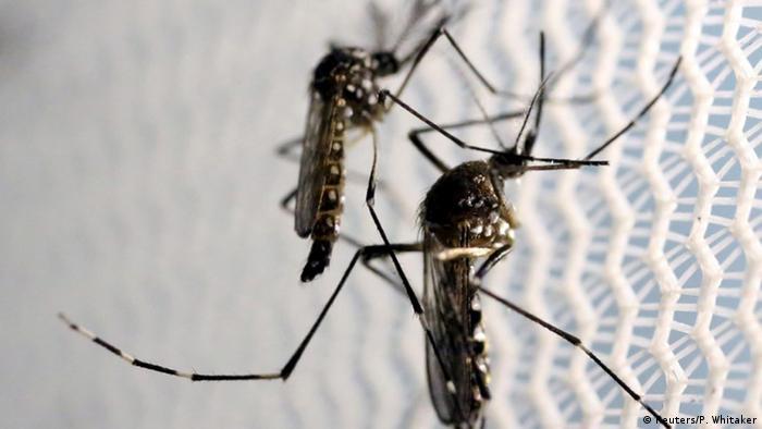 Dois mosquitos Aedes aegypti