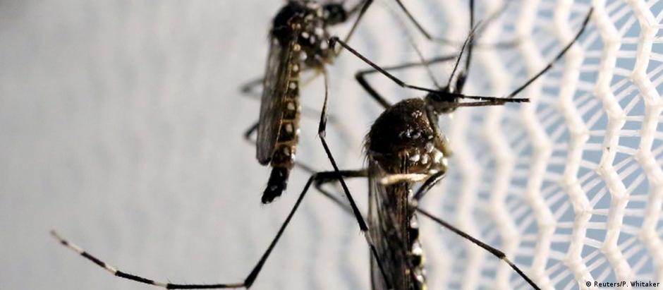 Mosquito Aedes aegypti é o transmissor do zika