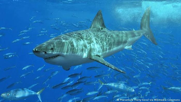Weltnaturerbestätten in der Hochsee - Weißer Hai an der Isla Guadalupe