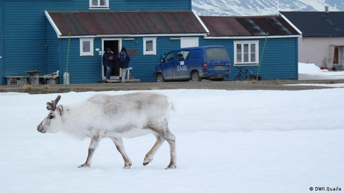 Rentier vor einem blauen Haus in Ny-Alesund (Foto: DW)
