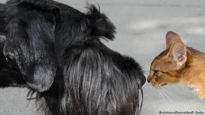 Абиссинская кошка по кличке Кики и ризеншнауцер Тами