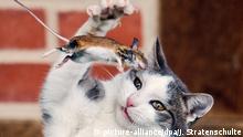 ARCHIV - Eine Katze spielt am 20.12.2014 mit einer kurz zuvor gefangenen Maus auf einem Hof in Sehnde in Region Hannover (Niedersachsen). Das minutenlange Katz-und-Maus-Spiel endete für die kleine Maus tödlich. Foto: Julian Stratenschulte/dpa (zu dpa Götter, Helden und Ganoven - Katzen können alles vom 07.08.2015) +++(c) dpa - Bildfunk+++   Verwendung weltweit (c) picture-alliance/dpa/J. Stratenschulte