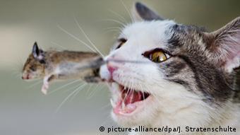 Eine Katze spielt mit einer kurz zuvor gefangenen Maus