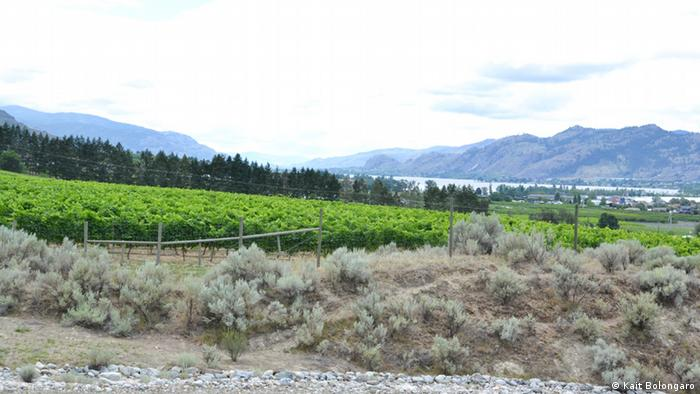 Vineyard adjacent to antelope-brush ecosystem in Osoyoos, Canada (Photo: Kait Bolongaro)