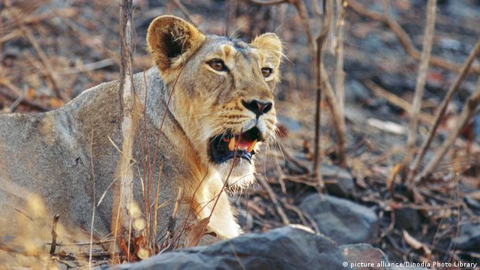Indien Löwin im Gir National Park (picture alliance/Dinodia Photo Library)