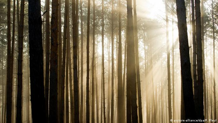 Sunlight shines through pine forest in Germany (Photo: picture-alliance/dpa/P. Pleul)