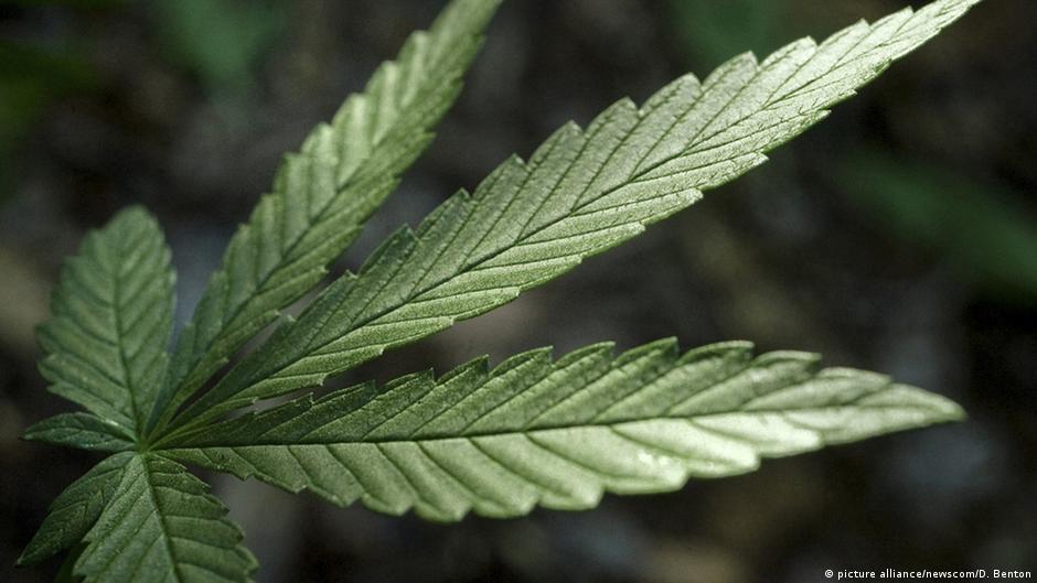 Голосование за марихуану продажа конопляных семян в россии