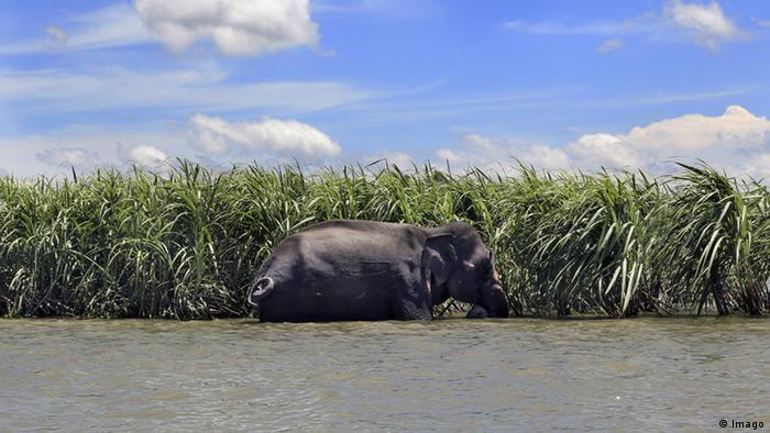 Ein indischer Elefant erreicht Bangladesh nach Überflutung (Imago)