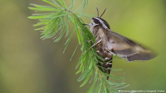 Moth Hyles euphorbiae
