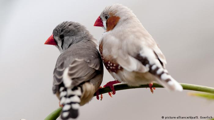 two zebra finches Photo: picture-alliance/dpa/S. Goerlich