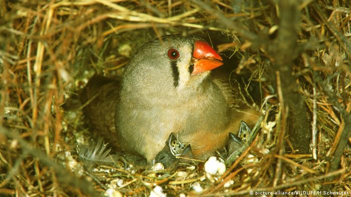 Zebra finch with nestlings Photo: picture-alliance/WILDLIFE/H.Schweiger