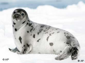 Harp seal on an ice floe in the Gulf of St. Lawrence, Canada