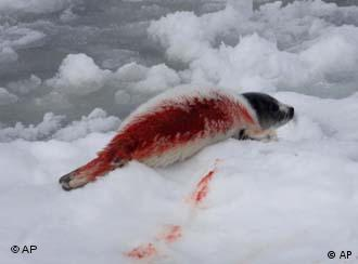 A blood-covered seal lying on ice