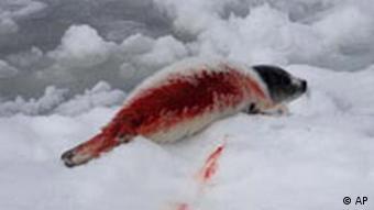 A bleeding seal pup