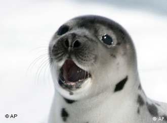 A harp seal